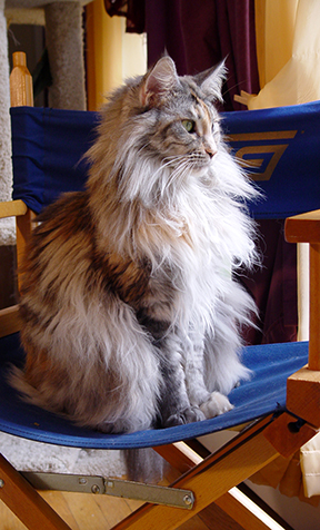 Maine Coon Ruby Bella Rose