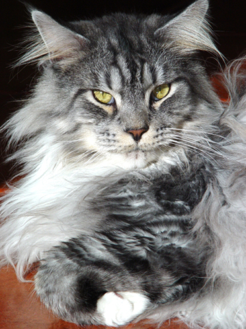 Maine Coon Scooter. A Regional Winner and Supreme Grand Champion.