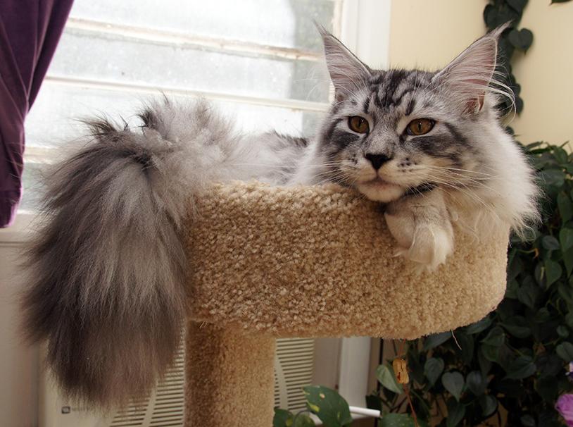 Maine Coon Spencer Pearl